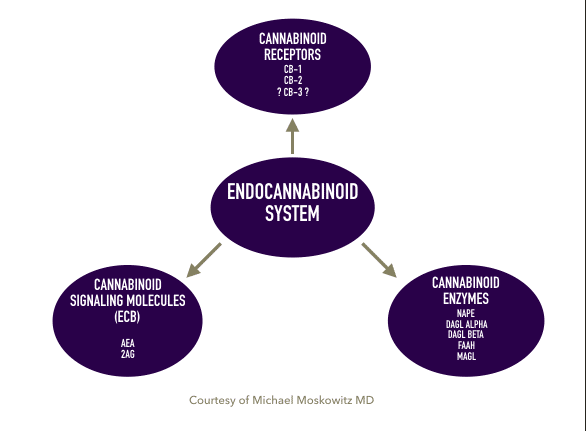 What You Need To Know About The Endocannabinoid System