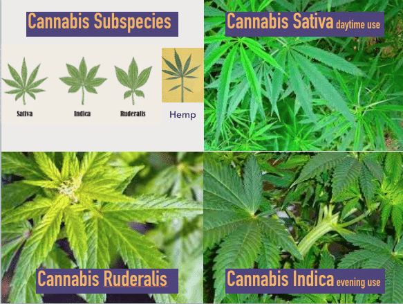 Image of the different cannabis subspecies